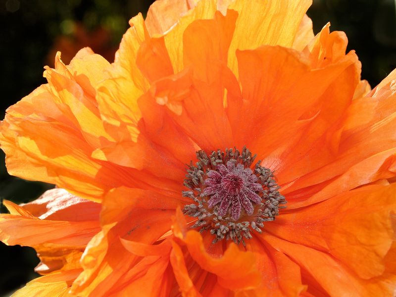 Detail view of an Orange Poppy (papaver somniferum).  Backlit by the sun, the rear and outer petals appear to glow and have a bit of translucence.
