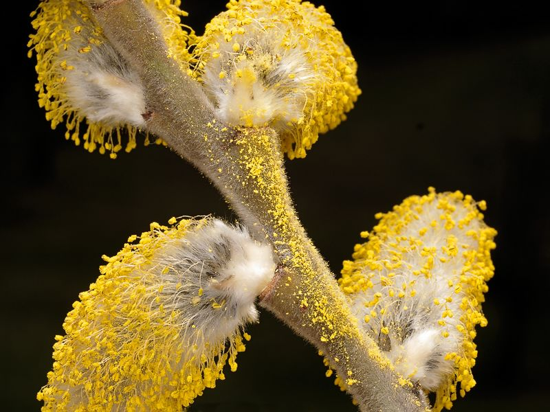 Pussy Willow (Salix discolor). Catkins from the male flower in full bloom, covered with yellow pollen.