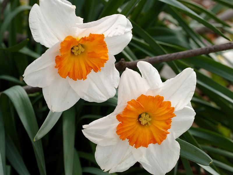 Daffodil (Narcissus). Showy spring flower found in many gardens across the world. This particular plant has a showy orange center surrounded by white petals.