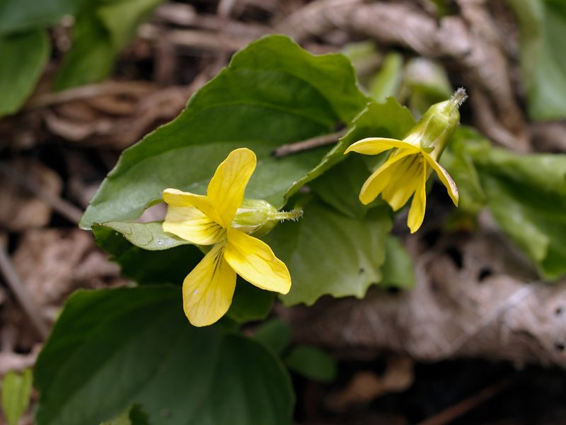 Downy Yellow Violet (Viola pubescens) are found in rich woods.