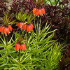Crown Imperials, Fritillaria imperialis, at Butchart Gardens in Victoria, British Columbia, Canada.