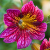 Painted Tongue, Salpiglossis, in Butchart Gardens