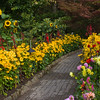 Sunflowers and Black-eyed Susans garden scene in Butchart Gardens on Vancouver Island.