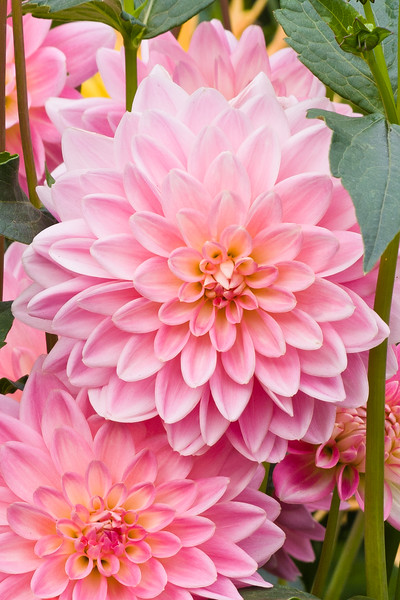 """Dahlia in Butchart Gardens, Victoria, British Columbia. Butchart Gardens is a """"must see"""" fifty-five acres of stunning floral show gardens and a National Historic Site of Canada, located on Vancouver Island."""