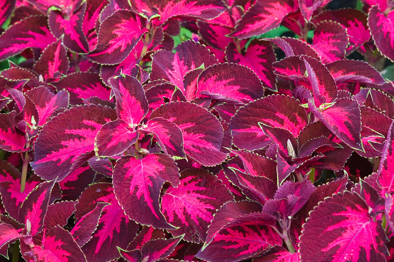 Coleus foliage plant in Butchart Gardens on Vancouver Island.