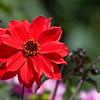 Dahlia 'Rote Funken' - in Butchart Gardens, Victoria British Columbia