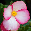 Begonia in bloom at Butchart Gardens in Victoria, British Columbia, Canada.