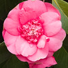 Camellia at Butchart Gardens in Victoria, British Columbia, Canada.