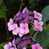 Lacecap Hydrangea, Hydrangea macrophylla, in Butchart Gardens on Vancouver Island.
