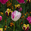 Tulip at Butchart Gardens in Victoria, British Columbia, Canada.