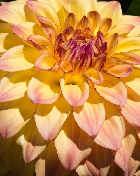 """Dahlia blooming in Butchart Gardens, a """"must see to believe"""" fifty-five acres of stunning floral show gardens and a National Historic Site of Canada, on Vancouver Island in British Columbia."""
