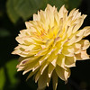 Dahlia in bloom at Butchart Gardens in Victoria, British Columbia, Canada.