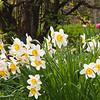 Daffodil (Narcissus) at Butchart Gardens in Victoria, British Columbia, Canada.