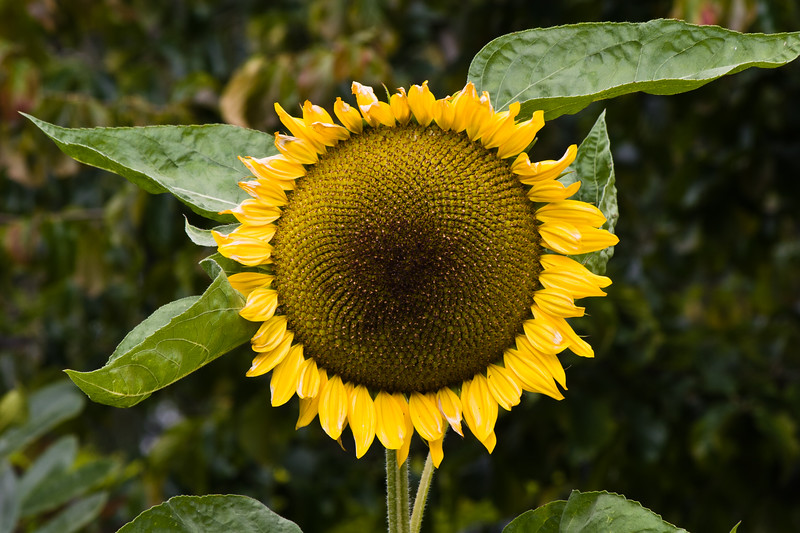 """Sunflower in Butchart Gardens, Victoria, British Columbia. Butchart Gardens is a """"must see"""" fifty-five acres of stunning floral show gardens and a National Historic Site of Canada, located on Vancouver Island."""