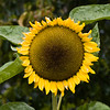 "Sunflower in Butchart Gardens, Victoria, British Columbia. Butchart Gardens is a ""must see"" fifty-five acres of stunning floral show gardens and a National Historic Site of Canada, located on Vancouver Island."