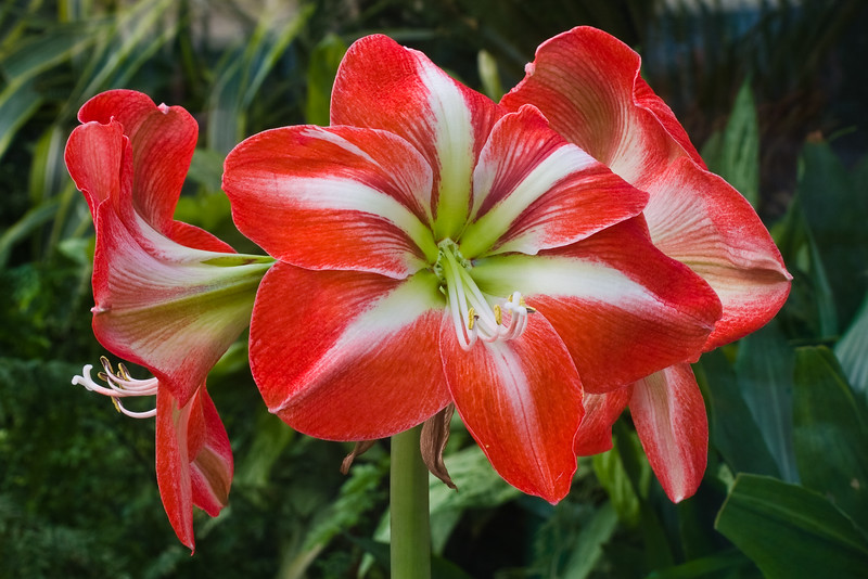 Amaryllis at Butchart Gardens in Victoria, British Columbia, Canada.