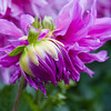 Dahlia in Butchart Gardens in Victoria, British Columbia.