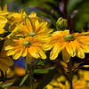 Black-eyed Susan 'Prairie Sun', Rudbeckia hirta 'PRAIRIE SUN', in Butchart Gardens, Victoria, British Columbia