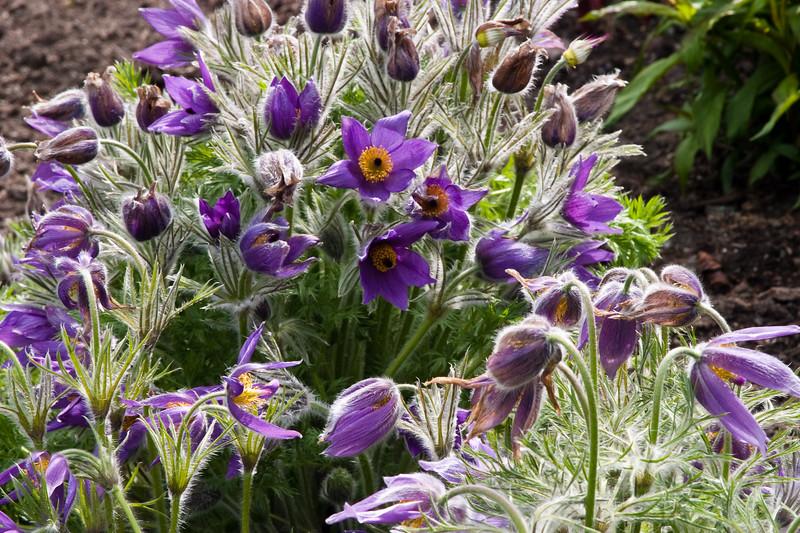 Pasque Flower (Pulsatilla) at Butchart Gardens at Victoria, British Columbia, on Vancouver Island.