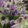 Pasque Flower (Pulsatilla) at Butchart Gardens at Victoria, British Columbia, on Vancouver Island.