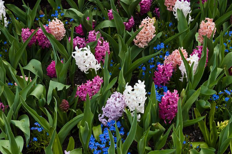 Hyacinths at Butchart Gardens in Victoria, British Columbia, Canada.