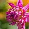 Dahlia photo taken in Butchart Gardens, Victoria, British Columbia