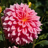 "Dahlia blooming in Butchart Gardens, a ""must see to believe"" fifty-five acres of stunning floral show gardens and a National Historic Site of Canada, on Vancouver Island in British Columbia."