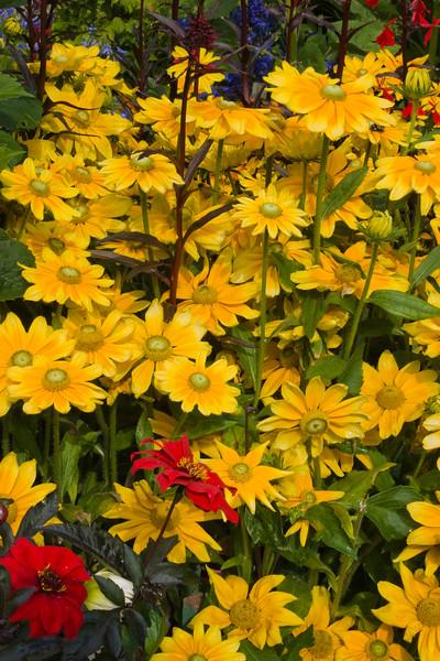 Black-eyed Susan 'PRAIRIE SUN', Rudbeckia hirta 'PRAIRIE SUN', at Butchart Gardens on Vancouver Island.