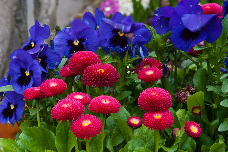 English Daisy (Bellis) at Butchart Gardens in Victoria, British Columbia, Canada.