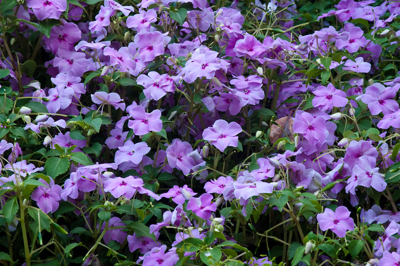 Phlox in bloom at Butchart Gardens in Victoria, British Columbia, Canada.
