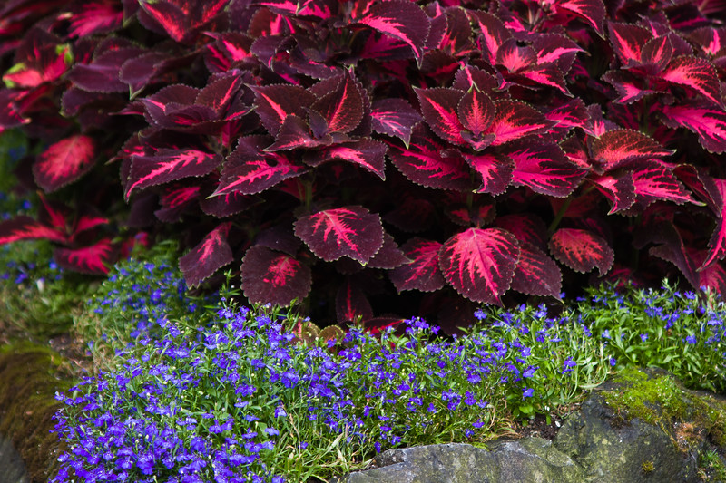 """Bright colored foliage plants (Coleus) and Lobelia in Butchart Gardens in Victoria, British Columbia. Butchart Gardens is a """"must see"""" fifty-five acres of stunning floral show gardens and a National Historic Site of Canada, located on Vancouver Island."""
