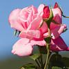 Rose photo taken in Butchart Gardens, Victoria, British Columbia