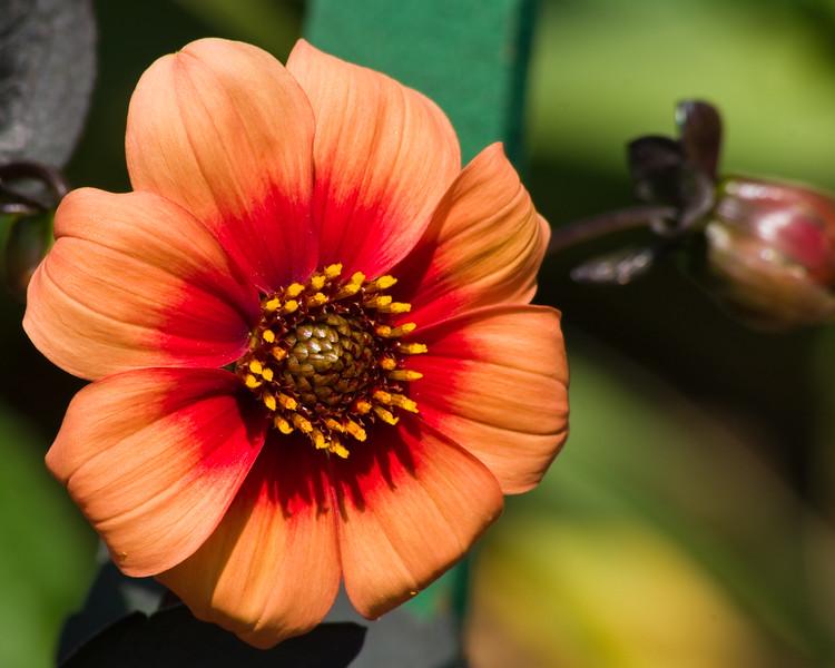 Dahlia in bloom at Butchart Gardens in Victoria, British Columbia, Canada.