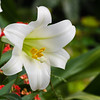 Easter Lily at Butchart Gardens in Victoria, British Columbia, Canada.
