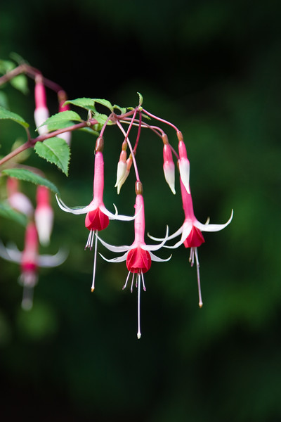 Fuchsia plant in Butchart Gardens on Vancouver Island.