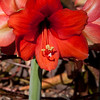 Amaryllis flower at Callaway Gardens in Pine Mountain, Georgia. Callaway Gardens, which is especially famous for its azaleas, boasts 13,000 acres of gardens and Georgia countryside, plus a conservation nature preserve, extensive education programs, and a very impressive resort as well.