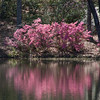 Reflections in Garden scene at Azalea Overlook Garden in early April at Callaway Gardens in Pine Mountain, Georgia. Callaway Gardens, which is especially famous for its azaleas, boasts 13,000 acres of gardens and Georgia countryside, plus a conservation nature preserve, extensive education programs, and a very impressive resort as well.