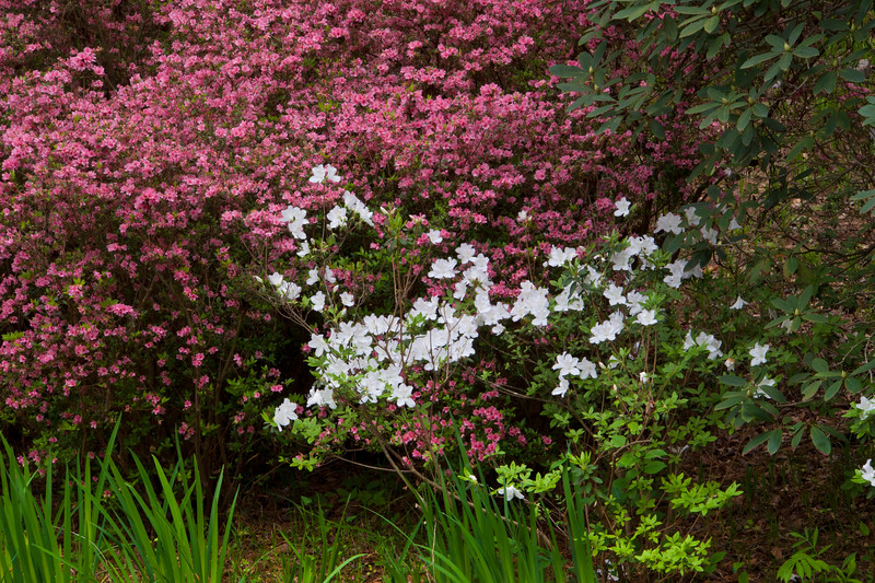 Azalea Overlook Garden at Callaway Gardens in Pine Mountain, Georgia. Callaway Gardens, which is especially famous for its azaleas, boasts 13,000 acres of gardens and Georgia countryside, plus a conservation nature preserve, extensive education programs, and a very impressive resort as well.