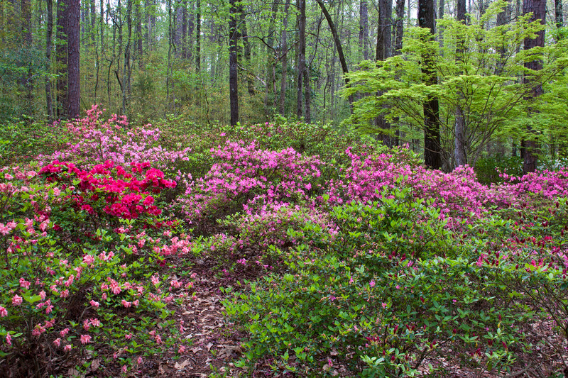 Garden scene at Azalea Bowl area of Callaway Gardens in Pine Mountain, Georgia. Callaway Gardens, which is especially famous for its azaleas, boasts 13,000 acres of gardens and Georgia countryside, plus a conservation nature preserve, extensive education programs, and a very impressive resort as well.