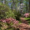 Garden scene at Azalea Overlook Garden at Callaway Gardens in Pine Mountain, Georgia. Callaway Gardens, which is especially famous for its azaleas, boasts 13,000 acres of gardens and Georgia countryside, plus a conservation nature preserve, extensive education programs, and a very impressive resort as well.