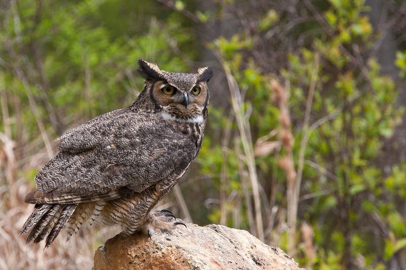 Injured or imprinted Great Horned Owl, Bubo virginianus, in rehabilitation education program at Callaway Gardens in Pine Mountain, Georgia. Injured or imprinted birds of prey which are unable to be released to the wild are trained and used to educate the public. Callaway Gardens, which is especially famous for its azaleas, boasts 13,000 acres of gardens and Georgia countryside, plus a conservation nature preserve, extensive education programs, and a very impressive resort as well.