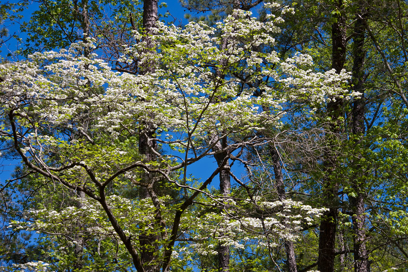 Dogwood trees in bloom at Callaway Gardens in Pine Mountain, Georgia. Callaway Gardens, which is especially famous for its azaleas, boasts 13,000 acres of gardens and Georgia countryside, plus a conservation nature preserve, extensive education programs, and a very impressive resort as well.