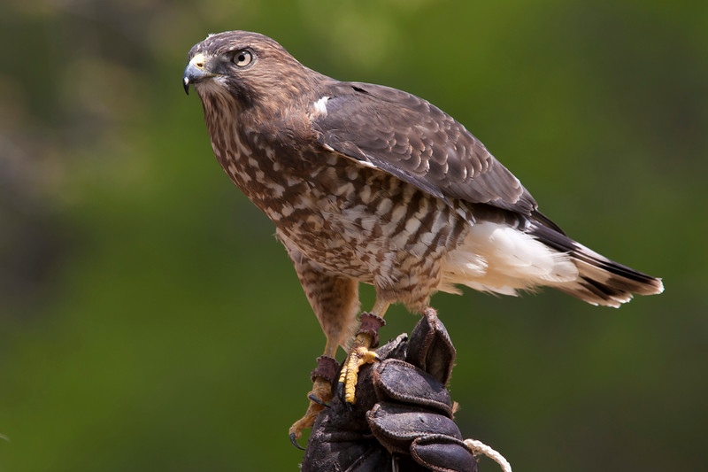 Broad-winged Hawk, Buteo platypterus, in rehabilitation education program at Callaway Gardens in Pine Mountain, Georgia. Injured or imprinted birds of prey which are unable to be released to the wild are trained and used to educate the public.  Callaway Gardens, which is especially famous for its azaleas, boasts 13,000 acres of gardens and Georgia countryside, plus a conservation nature preserve, extensive education programs, and a very impressive resort as well.