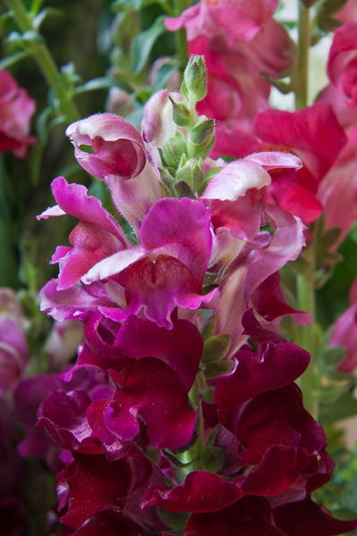Snapdragon flowers, Antirrhinum majus 'Rocket Mix', at Callaway Gardens in Pine Mountain, Georgia. Callaway Gardens, which is especially famous for its azaleas, boasts 13,000 acres of gardens and Georgia countryside, plus a conservation nature preserve, extensive education programs, and a very impressive resort as well.