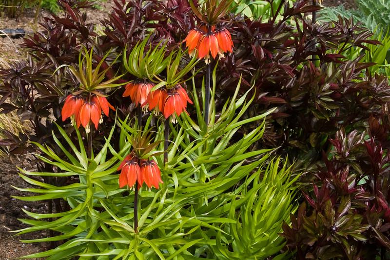 Crown Imperials, Fritillaria imperialis, at Butchart Gardens in Victoria, British Columbia, Canada.