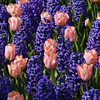 Garden scene with  tulips and hyacinths at Keukenhof Gardens in South Holland in The Netherlands.