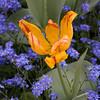 Tulip 'Twister' in garden Scene  at Keukenhof Gardens in South Holland in The Netherlands.