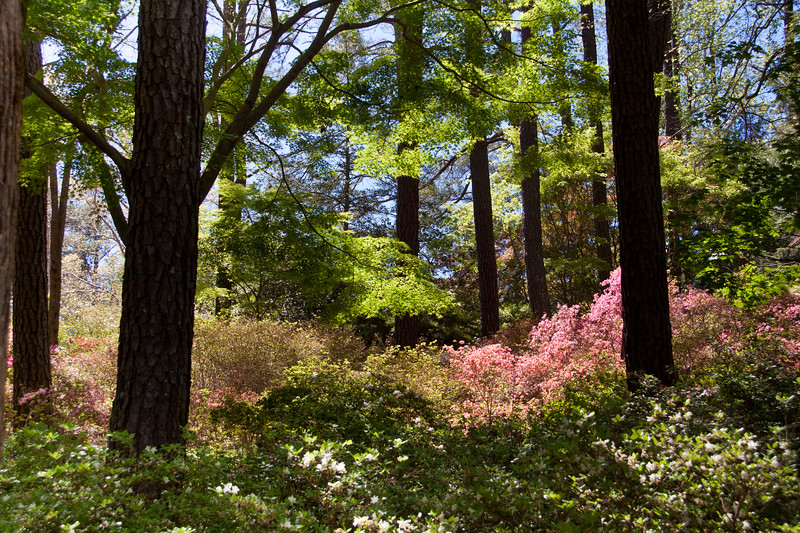 Garden scene in Azalea Overlook Garden in early April at Callaway Gardens in Pine Mountain, Georgia. Callaway Gardens, which is especially famous for its azaleas, boasts 13,000 acres of gardens and Georgia countryside, plus a conservation nature preserve, extensive education programs, and a very impressive resort as well.