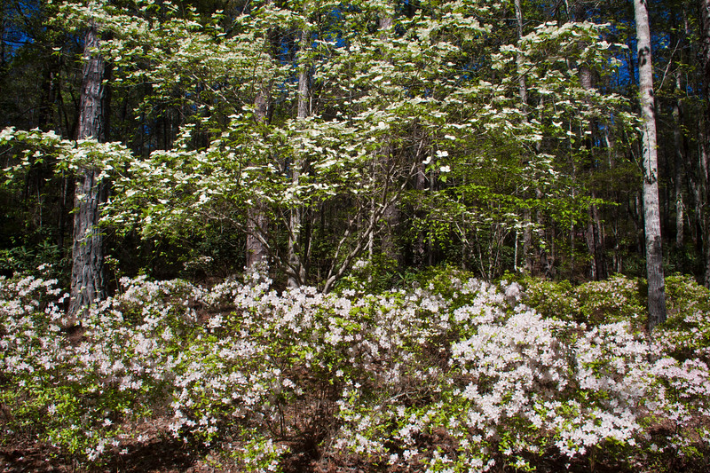 Flowering Dogwood trees and Azaleas at the Azalea Bowl garden at Callaway Gardens in Pine Mountain, Georgia. Callaway Gardens, which is especially famous for its azaleas, boasts 13,000 acres of gardens and Georgia countryside, plus a conservation nature preserve, extensive education programs, and a very impressive resort as well.