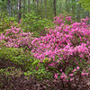 """Chisolm-Merritt Azalea, Rhododendron 'Kiska"""", in the Azalea Bowl Garden at Callaway Gardens in Pine Mountain, Georgia. Callaway Gardens, which is especially famous for its azaleas, boasts 13,000 acres of gardens and Georgia countryside, plus a conservation nature preserve, extensive education programs, and a very impressive resort as well."""